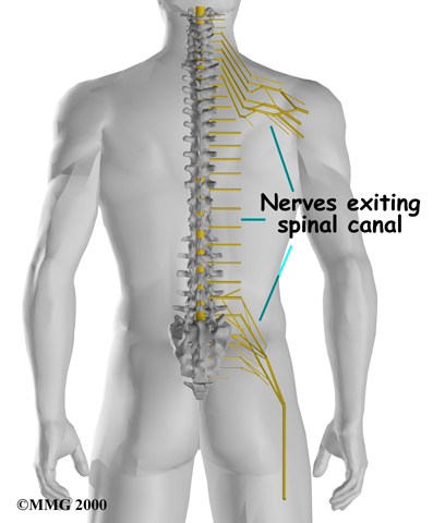 Diagram of human spine showing nerves exiting the spinal canal